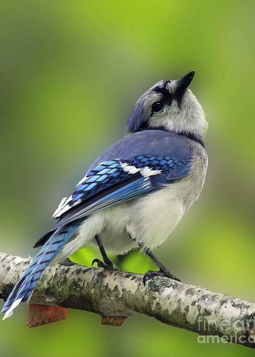Art Card Greeting Card featuring the photograph Curious Blue Jay by Inspired Nature Photography Fine Art Photography