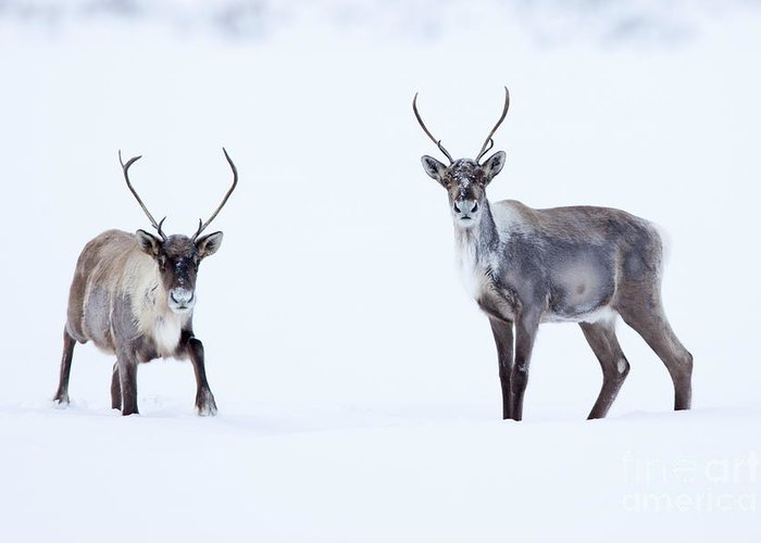 Barren Ground Caribou; Lake; Tundra; Winter Greeting Card featuring the photograph Curious Caribou by Tim Grams