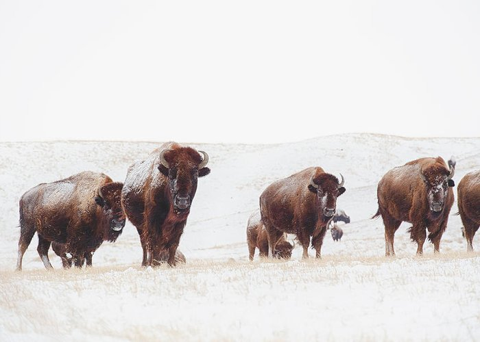 Buffalo Greeting Card featuring the photograph Curious by Derald Gross