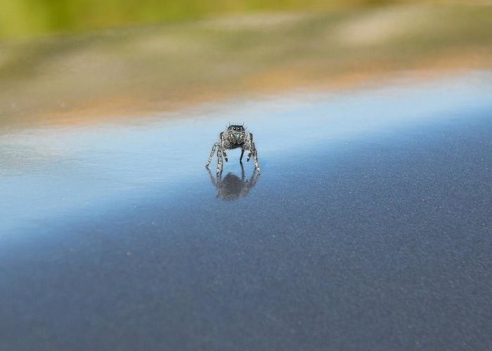 Jumping Greeting Card featuring the photograph Curious Jumping Spider by Daniel McGaha
