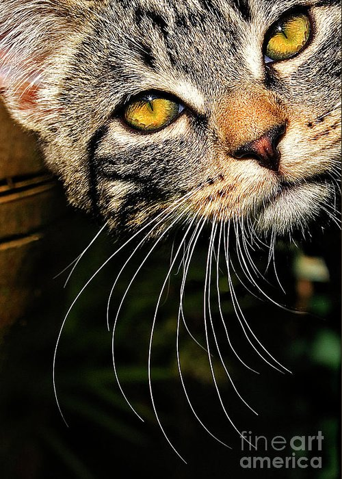 Kitten Greeting Card featuring the photograph Curious Kitten by Meirion Matthias