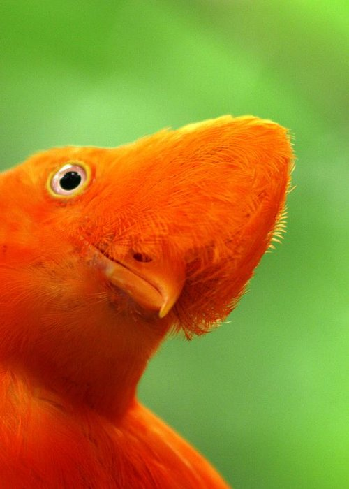 Orange Bird Greeting Card featuring the photograph Curious by Linda Russell