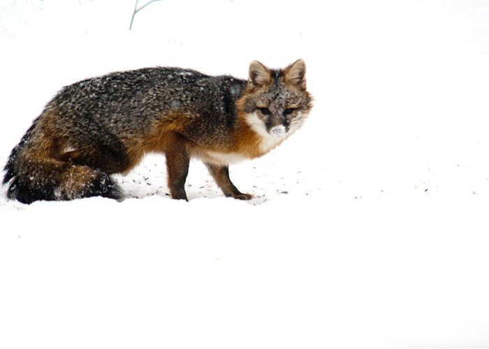 Red Greeting Card featuring the photograph Curious Red Fox In Snow by Douglas Barnett
