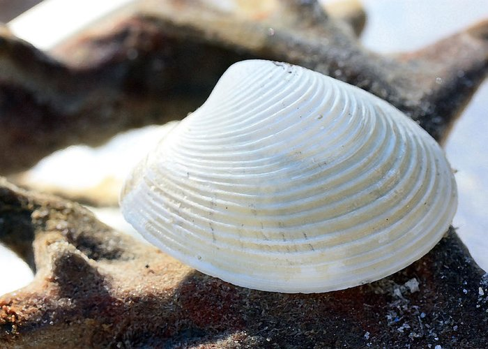 Clam Greeting Card featuring the photograph Curves by Mary Haber
