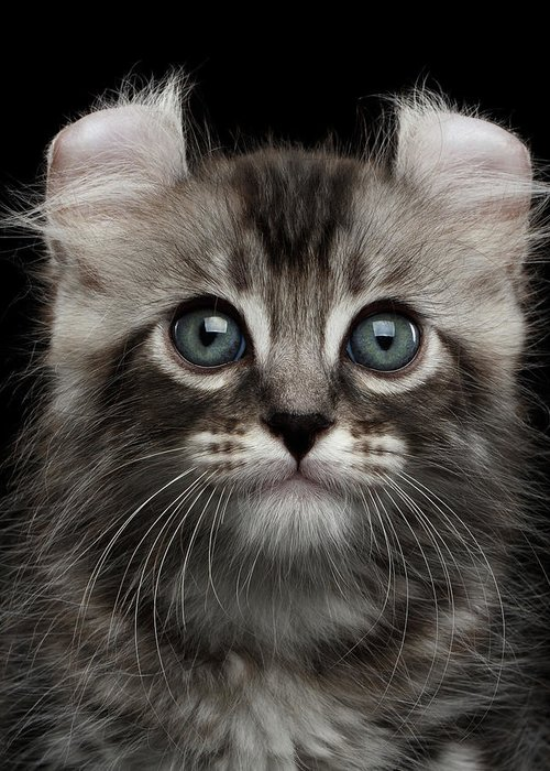 Curl Greeting Card featuring the photograph Cute American Curl Kitten with Twisted Ears Isolated Black Background by Sergey Taran
