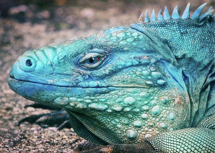 Blue Iguana For Sale : Cyclura greeting card for sale by iryna goodall