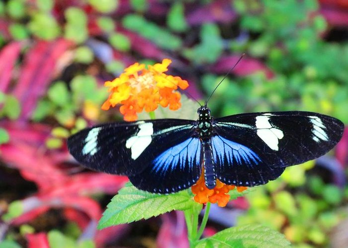 Cydno Longwing Greeting Card featuring the photograph Cydno Longwing Butterfly by Kathryn Meyer