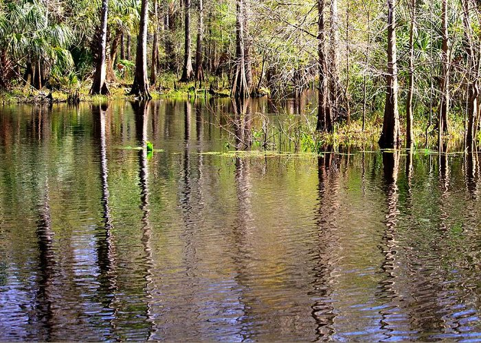 Cypress Trees Greeting Card featuring the photograph Cypress Trees Along The Hillsborough River by Carol Groenen