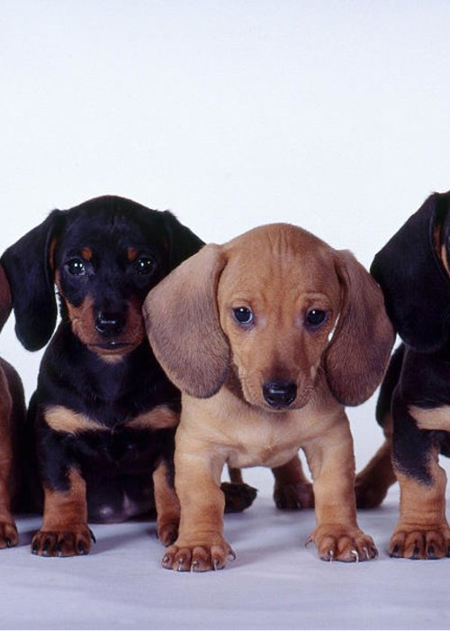 Fauna Greeting Card featuring the photograph Dachshund Puppies by Carolyn McKeone and Photo Researchers