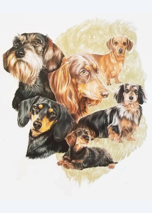 Purebred Dog Greeting Card featuring the drawing Dachshund Revamp by Barbara Keith