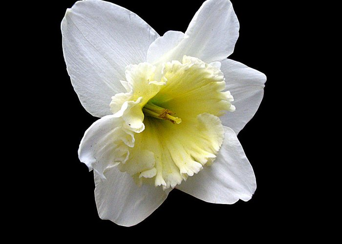 Daffodil Greeting Card featuring the photograph Daffodil on Black by J M Farris Photography