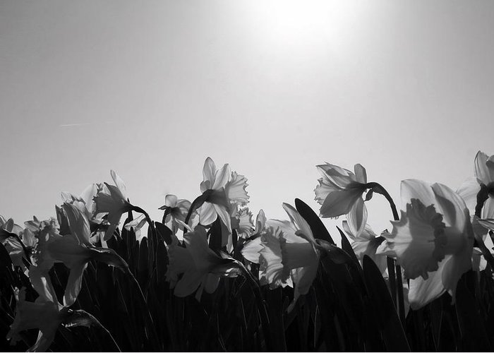 Black And White Greeting Card featuring the photograph Daffodil Party by Karla DeCamp