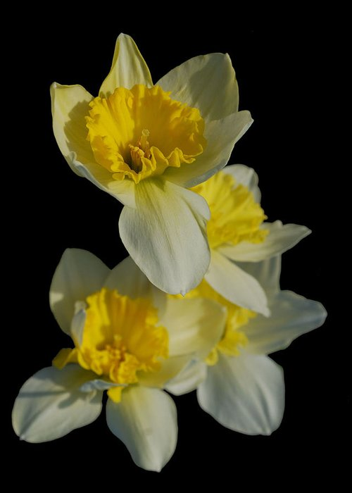 Flowers Greeting Card featuring the photograph Daffodils by Michael Taylor