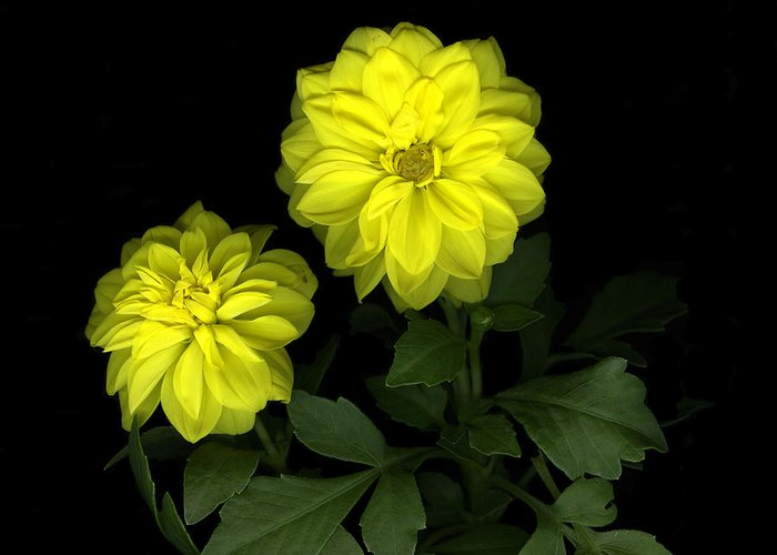 Yellow Greeting Card featuring the photograph Dahlia by Christian Slanec