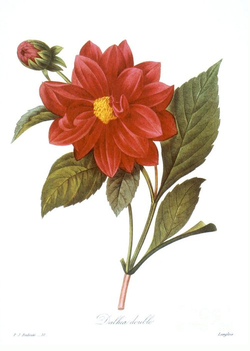 1833 Greeting Card featuring the photograph Dahlia (dahlia Pinnata) by Granger