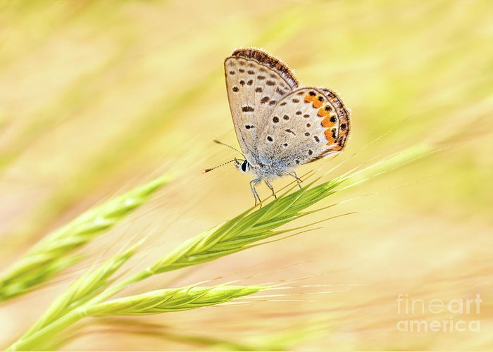 Close-up Greeting Card featuring the photograph Dainty Butterfly by Mimi Ditchie