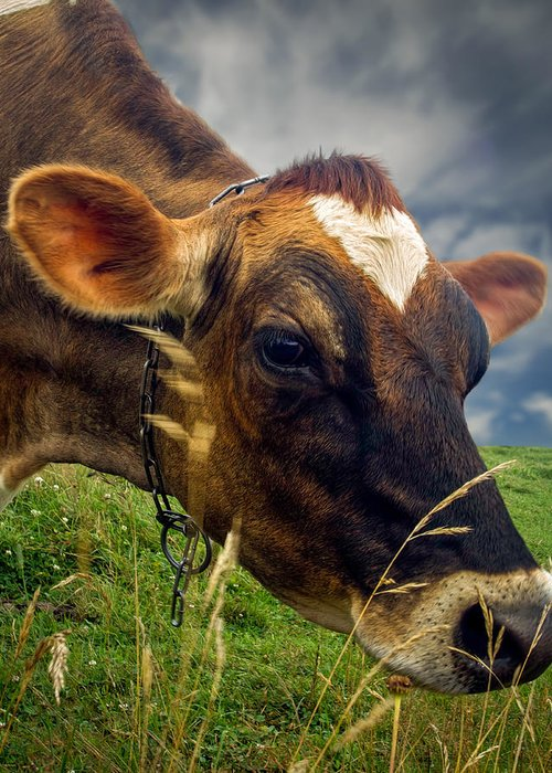 Cow Greeting Card featuring the photograph Dairy Cow Eating Grass by Bob Orsillo