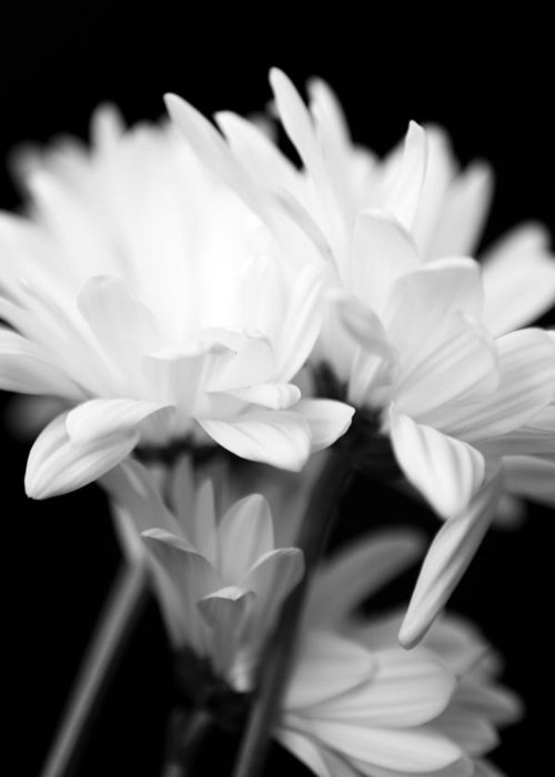 Floral Greeting Card featuring the photograph Daises In Black And White by Ayesha Lakes