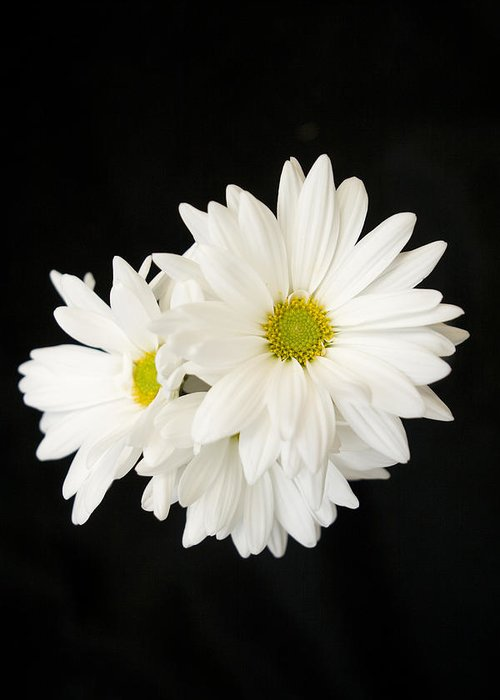 Floral Greeting Card featuring the photograph Daisies by Ayesha Lakes
