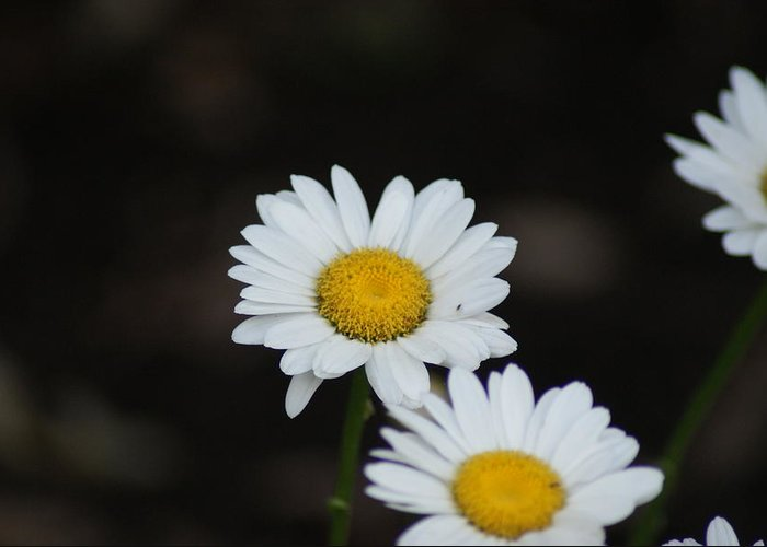 Flowers Greeting Card featuring the photograph Daisies by Heather Green