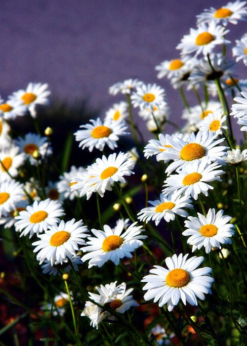 Daisies Greeting Card featuring the photograph Daisies by Lana Trussell