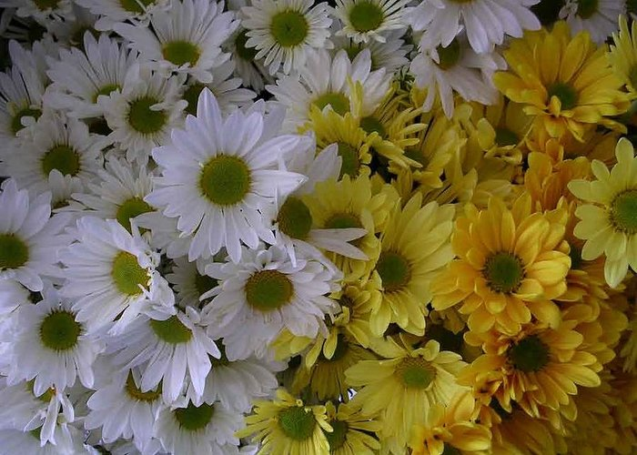 Daisies Greeting Card featuring the photograph Daisies by Nancy Ferrier