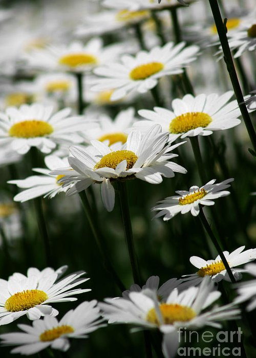 Flowers Greeting Card featuring the photograph Daisies by Robin Lynne Schwind