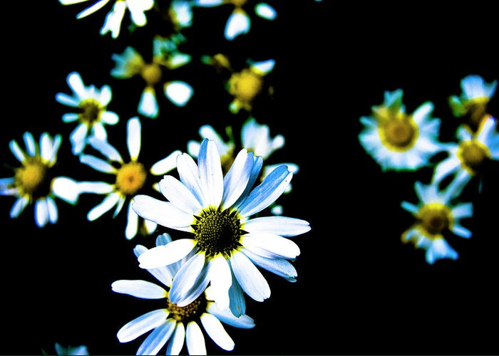 Daisies Greeting Card featuring the photograph Daisies by Grebo Gray