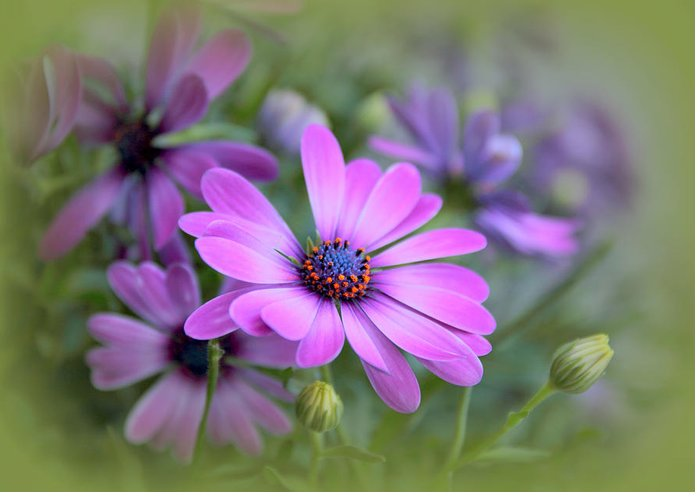 African Daisy Greeting Cards