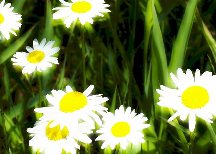 Daisies Greeting Card featuring the photograph Daisy Dream by Idaho Scenic Images Linda Lantzy
