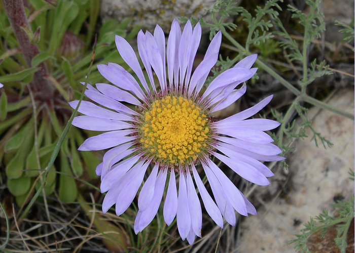 Daisy Greeting Card featuring the photograph Daisy Fleabane by Whispering Peaks Photography