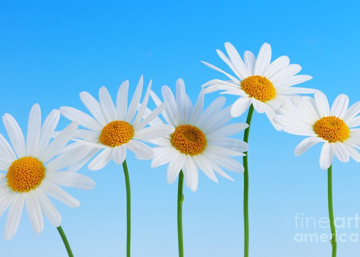 Daisy Greeting Cards