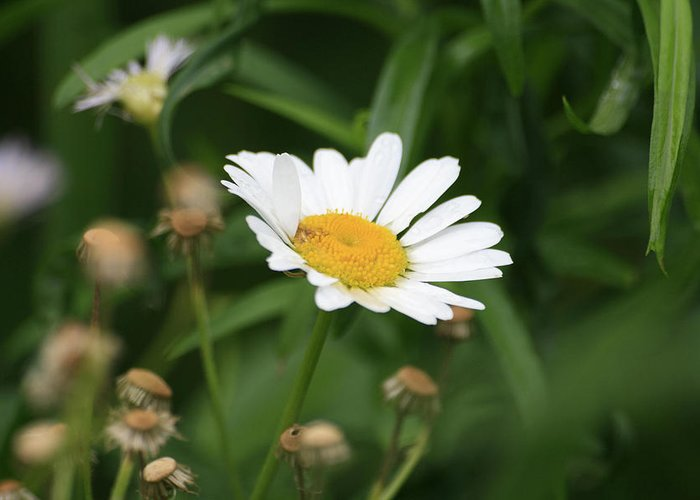 Wild Flowers Greeting Card featuring the photograph Daisy One by Alan Rutherford
