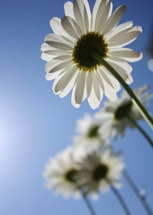 Daisy. Daisies Greeting Card featuring the photograph Daisy Parade by Yvonne Scribani