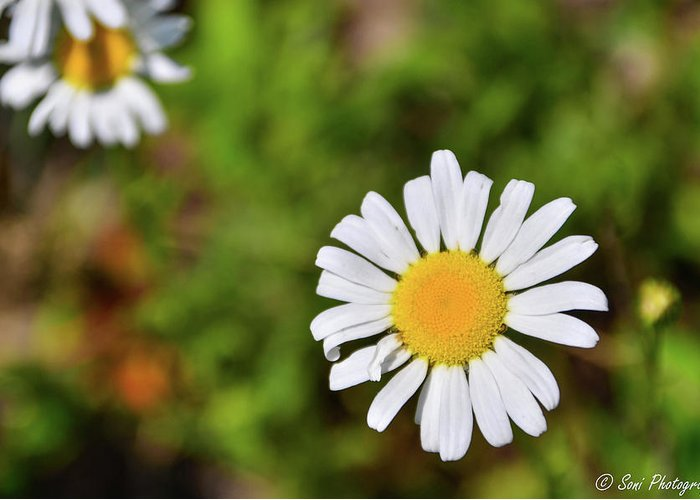 Plants Greeting Card featuring the photograph Daisy by Soni Macy