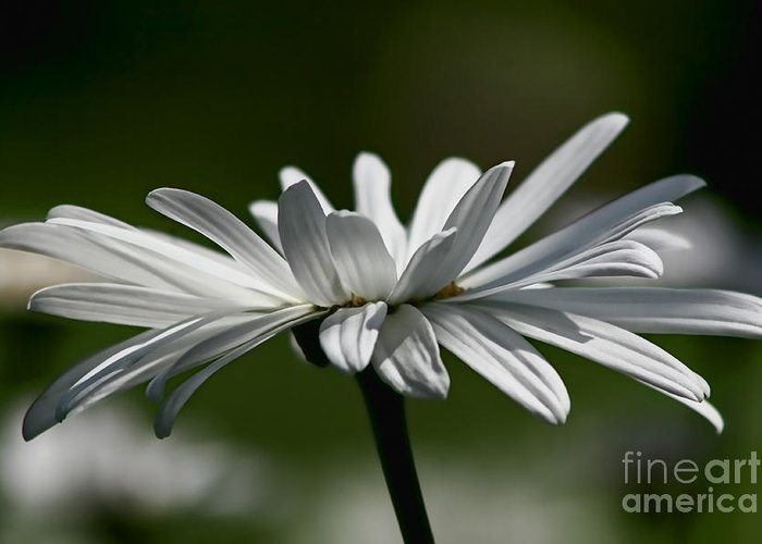 Flower Greeting Card featuring the photograph Daisy by Teresa Zieba