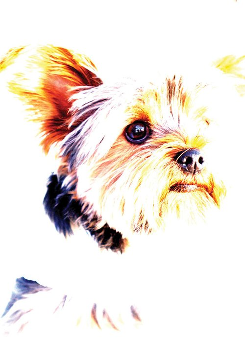 Dog Greeting Card featuring the photograph Daisy The Yorkie by Bobbi Mercouri