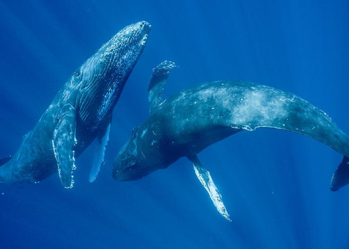00513190 Greeting Card featuring the photograph Dancing Humpback Whales by Flip Nicklin