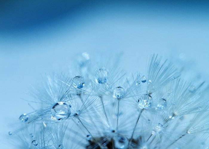 Water Greeting Card featuring the photograph Dandelion Bouquet by Rebecca Cozart