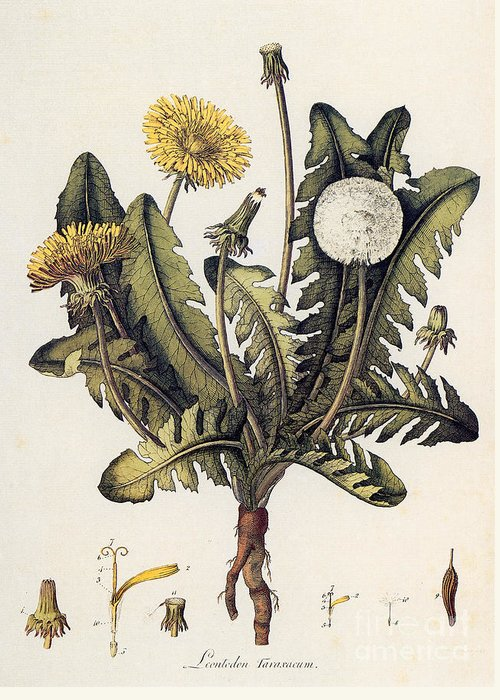 18th Century Greeting Card featuring the photograph Dandelion by Granger