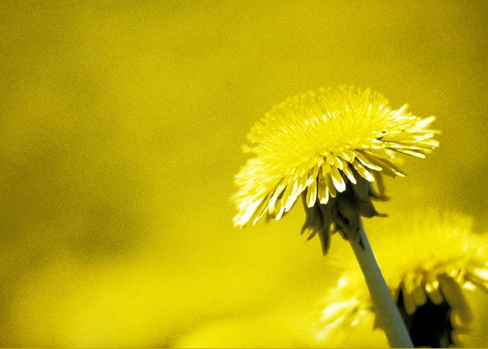 Dandelion Greeting Card featuring the photograph Dandelion In Yellow by Steve Somerville
