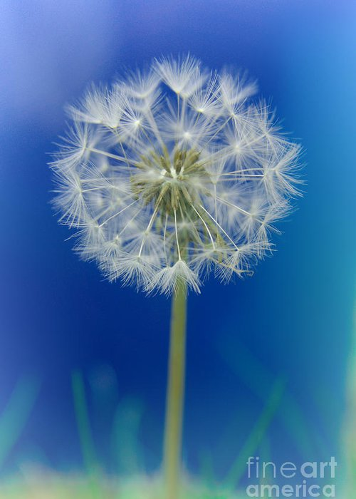 Asteraceae Greeting Card featuring the photograph Dandelion by MSVRVisual Rawshutterbug