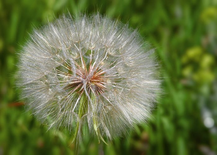 Flower Greeting Card featuring the photograph Dandelion Puff - The Summer Queen by Christine Till