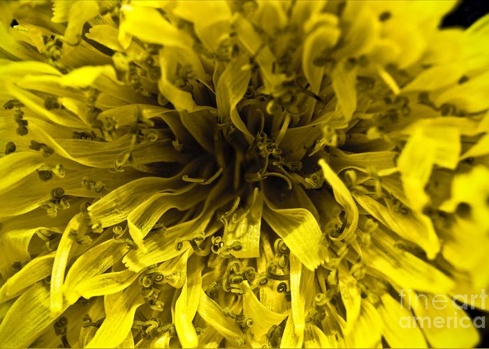 ryankellyphotography@gmail.com Greeting Card featuring the photograph Dandelion by Ryan Kelly