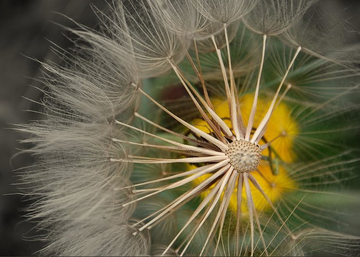 Dandelion Greeting Card featuring the photograph Dandelion by Susanne Van Hulst