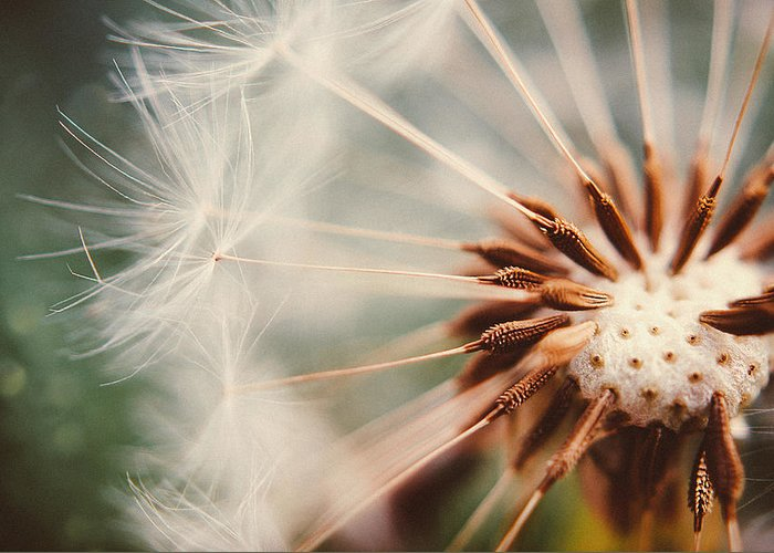 Dandelion Greeting Card featuring the photograph Dandelion by Tracy Jade