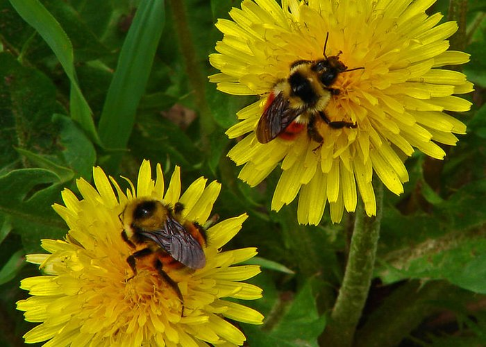 Dandelion Greeting Card featuring the photograph Dandelions and Bees by Heather Coen