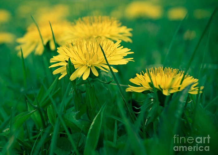 Dandelions Greeting Card featuring the photograph Dandelions by Susan Garver