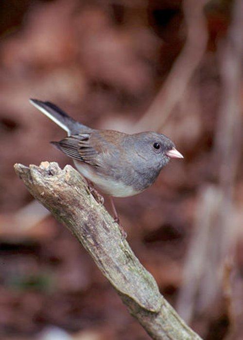Bird Greeting Card featuring the photograph Dark-eyed Junco by Raju Alagawadi