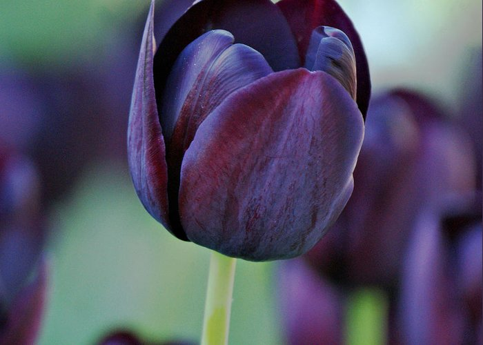 Tulips Greeting Card featuring the photograph Dark Purple Tulip by Sandy Keeton